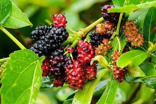Mulberry, Color, Wild, Food, Fruit, Tree