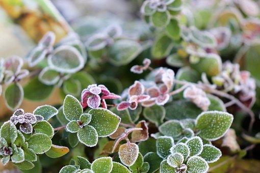 Oregano, Herbs, Frozen, Ice, Crust