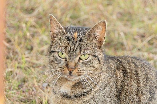 Cat, Pet, Young, Feral Cat, Dachowiec, Portrait, Eyes