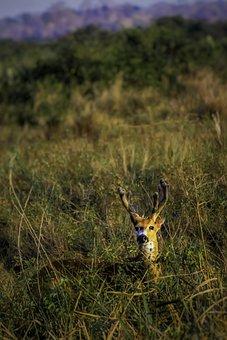 Deer, Marsh, Woods, Landscape, Velvet