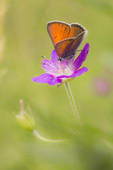 Lycaena Phlaeas, Small Copper, Butterfly, Environment