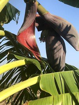 Bananas, Flower, Nature, Exotic, Fruit