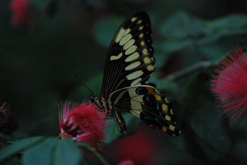 Butterfly, Feeding, Insect, Yummy, Black, Thistle