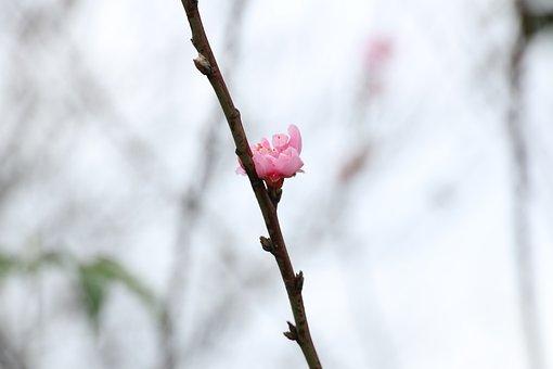 Spring, Luna New Year, Blossom, Flower, Asian, Peach