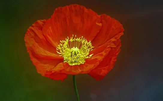 Poppy, Flower, Spring, Red, Orange, Yellow, Bright