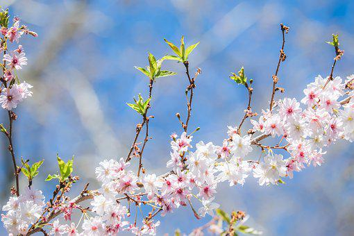Flowering Twig, Japanese Cherry Blossom