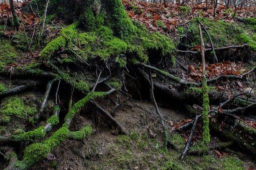 Beech, Forest, Moss, Nature, Forest Floor, Green
