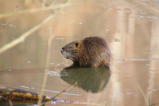 Beaver, Pond, Animal, Wildlife, Fur