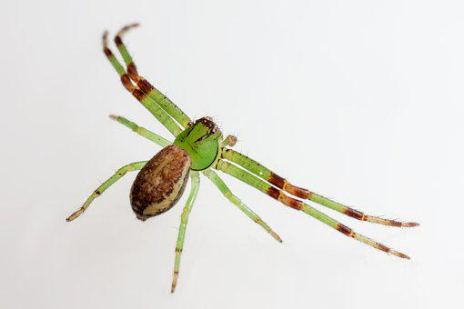 Green Crab Spider, Diaea Dorsata, Backdrop, Isolated