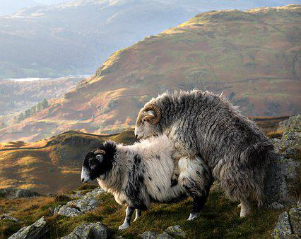 Sheep, Copulation, Lake District, England, Herdwick
