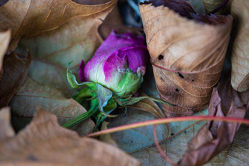 A Falling Flower, Pink, Leaves, Cold, Winter, Color