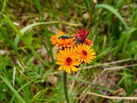 Marigold, Calendula, Long-horned Beetle Green
