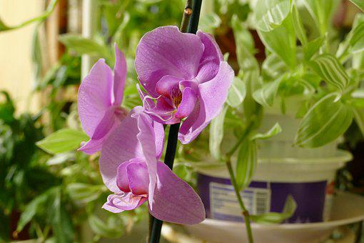Phalaenopsis, Orchid, Pink, Natural