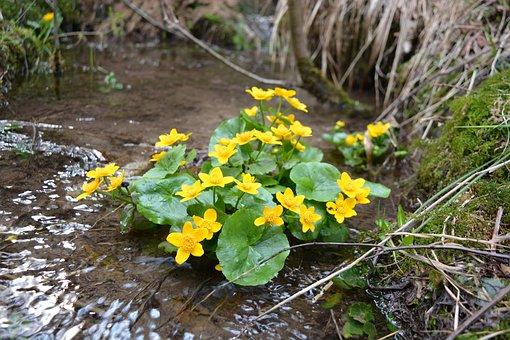 Flower, Nature, Marsh Marigold