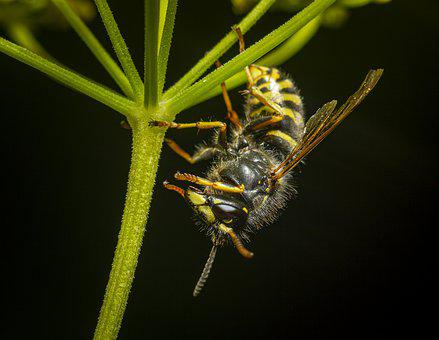 Wasp, Vespula Vulgaris, Insect, Nature