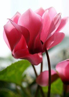 Cyclamen, Pink, Flower, Garden, Petals