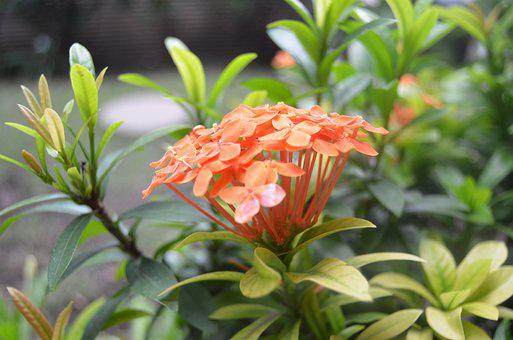 Flower, Asoka, Garden, Beauty, Plant