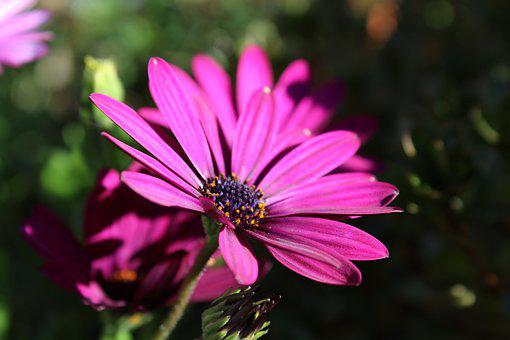 Cosmea, Flower, Plant, Nature, Blossom, Bloom