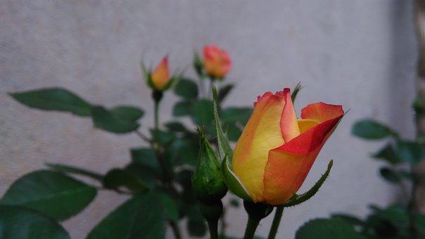 Rose, Love, خاروانا, Kharvana, Orange Flower, Flower
