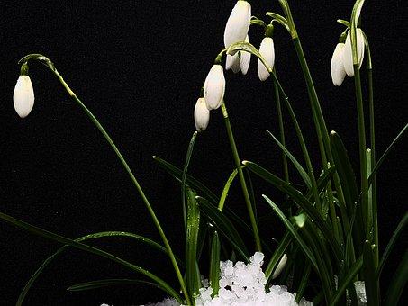 Snowdrop, Spring, Flower, Plant, Nature