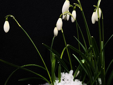 Snowdrop, Spring, Flower, Plant, Nature, Early Bloomer