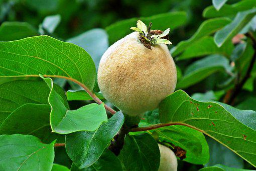 Quince, Fruit, Garden, Tree, Foliage, Nature, Summer