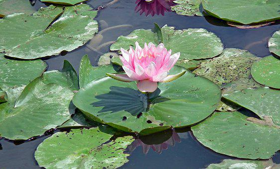 Water Lilies, Pond, Flowers, Water Lily, Summer, Water