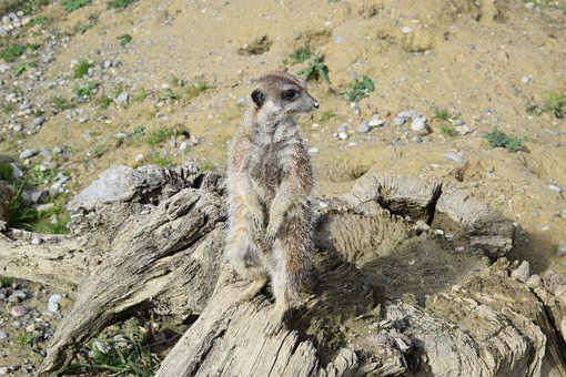 Meerkat, Animal, Wild, Tiergarten, Zoo, Mammal, Cute