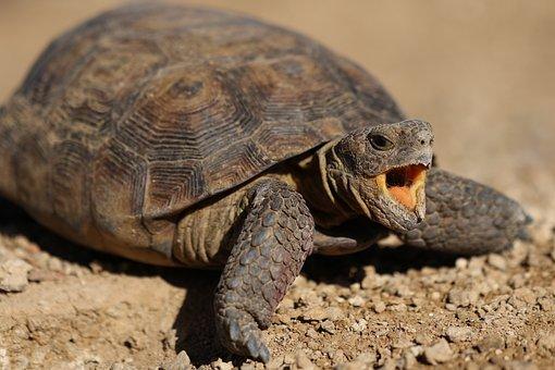Desert Turtle, Snapping Turtle, Desert, Wildlife