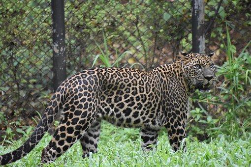 Leopard, Animal, Cat, Predator, Wildlife, Nature