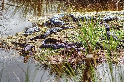 Alligator, Gator, Fl, Animal, Carnivore, Wild