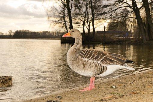 Goose Grey Goose, Water Bird, Portrait, Beak, Eye