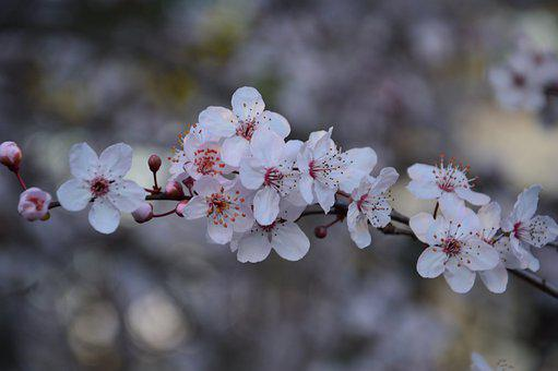 Blossom, Spring, Flower, Pink, Nature
