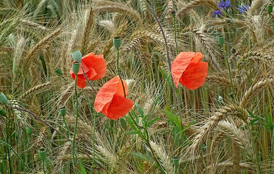 Corn, Poppies, Field, Nature, Agriculture, Closeup