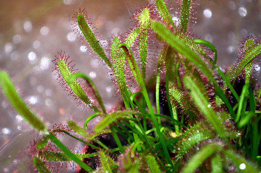 Carnivorous Plant, Drosera, Droplets