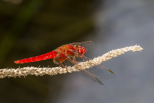 Ed-veined Darter, Sympetrum Fonscolombii, Insect
