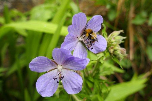 Geranium, Cranes-bill, Bee, Flower, Insect, Nature