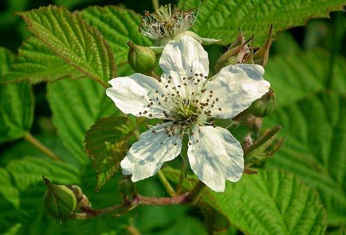 Blackberry, Flower, Garden, Nature, Summer, Bush, Plant