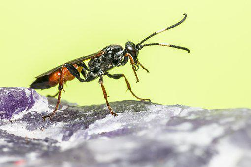 Ichneumon Wasp, Flies, Backdrop, Isolated, Fly, Insect