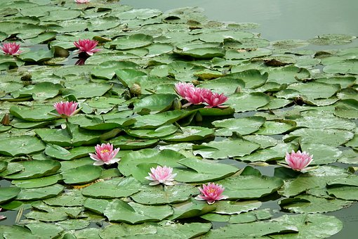 Water Lilies, Pink, Water Lily, Water, Plants, Foliage