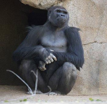 Primate, Ape, Monkey, Gorilla, Mammal, Animal, Thinking