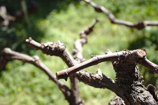 Vine, Vineyard, Grapes, Wine, Harvest, Viticulture