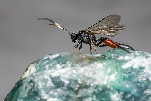 Ichneumon Wasp, Flies, Backdrop