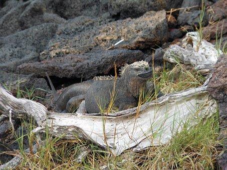 Marine Iguana, Galapagos, Isabela Island, Ecuador