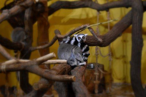 Lemur Kata, Madagascar, Lemur, Monkey, Primates, Cute