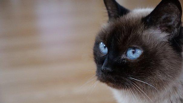 Cat, Pet, Animal, Feline, Cute, Mammal