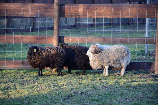 Lamb, Aries, Mammal, Black, Horned, White, Animal, Wave