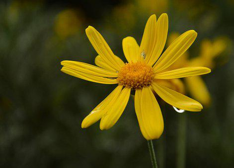 Calendula, Mary-bud, Mary-gold, Pot Marigold, Flower