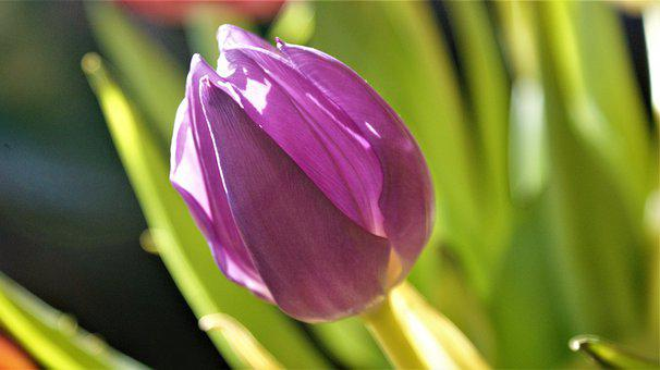 Tulip, Lilac, Nature, Netherlands, Spring Flowers