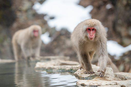 Snow Monkey, Japanese Macaque, Japan, Animal, Onsen
